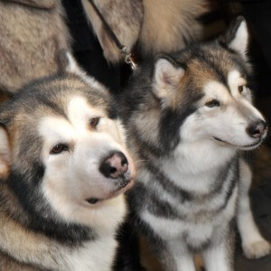 Husky dogs in icebar